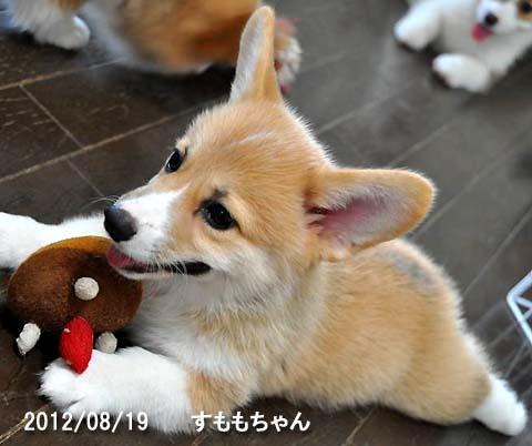 DSC_7544 コーギー仔犬.jpg